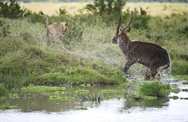 صور - فرائس برية تقوم بدور الحيوانات المفترسة لاول مرة
