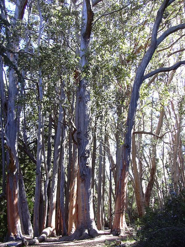 صور - بالصور اكبر 10 اشجار على وجه الأرض