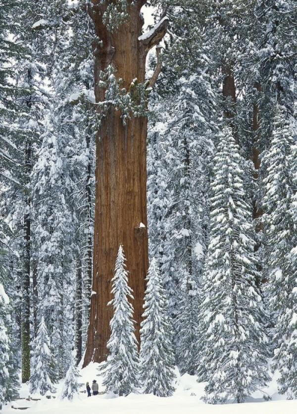 شجرة الجنرال شيرمان فى كاليفورنيا، الولايات المتحدة
