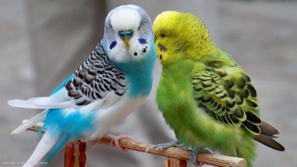 صور - معلومات مثيرة عن ببغاء البادجي احد اجمل طيور العالم