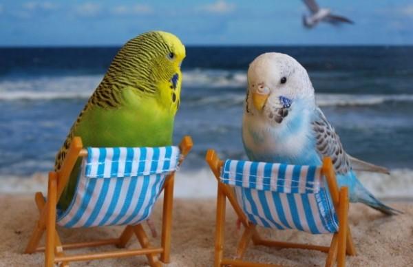معلومات مثيرة عن ببغاء البادجي احد اجمل طيور العالم
