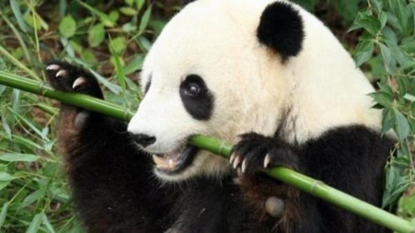 دب الباندا العملاقة تأكل اشجار الخيزران