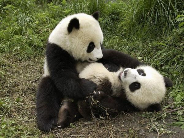 دب الباندا العملاقة تلعب من اقرانها