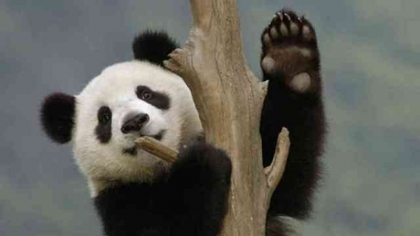 دب الباندا العملاقة تتسلق الاشجار