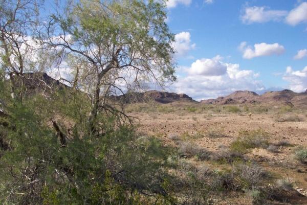 إيرونوود الصحراوي من اغرب نباتات صحراوية في العالم