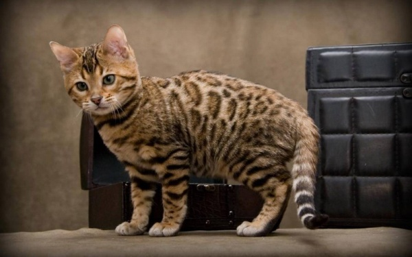 من اغلى انواع القطط في العالم بالاسعار