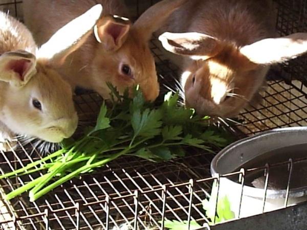 الخضروات من طعام الارانب