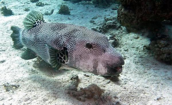 السمكة المنتفخة من اخطر الحيوانات السامة في العالم