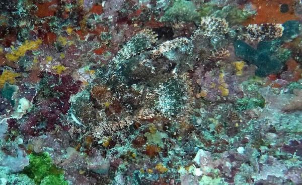 السمكة الحجرية من اخطر الحيوانات السامة في العالم