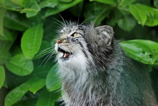 القط النمري من القطط البرية