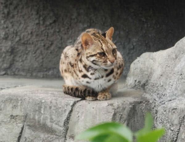 القط اليغورندي من القطط البرية