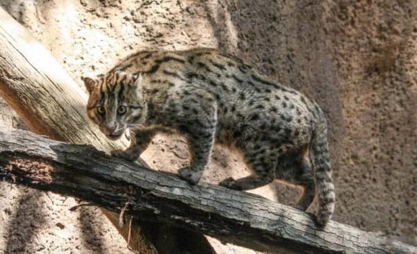 قط المارجاي من القطط البرية
