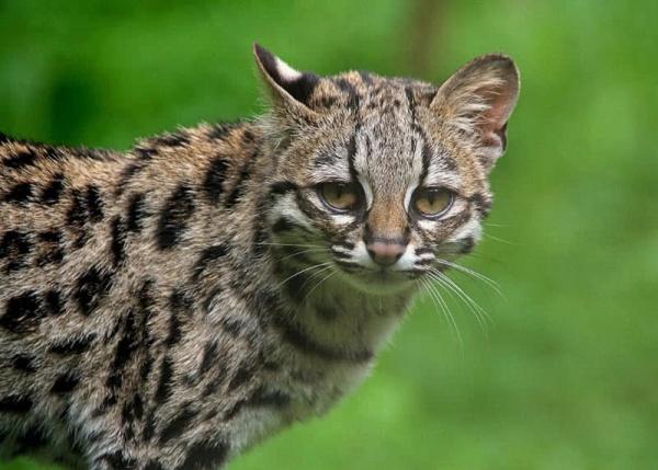 الوشق من القطط البرية