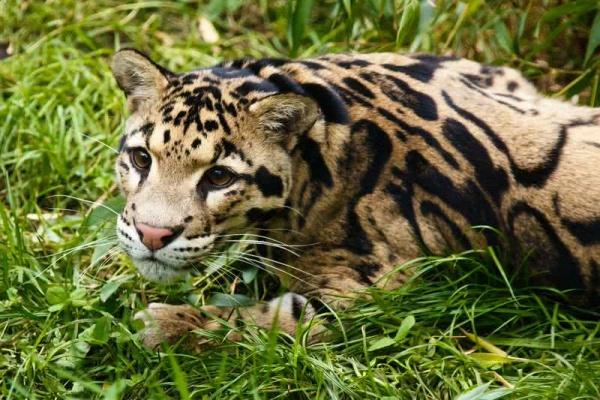 قط بالاس من القطط البرية