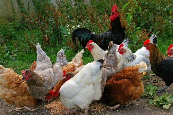 معلومات عن طيور الدجاج