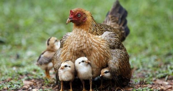 طيور الدجاج الصغيرة تسمى كتاكيت