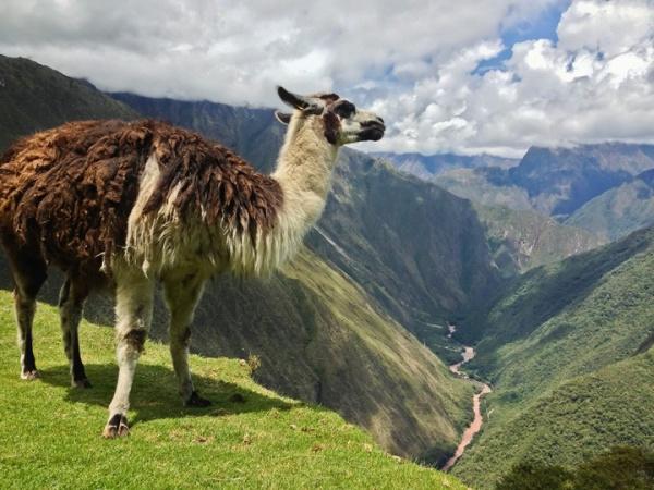حيوان اللاما في بيرو