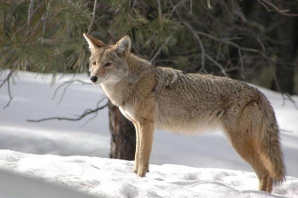 ذئب القيوط من اشهر حيوانات امريكا