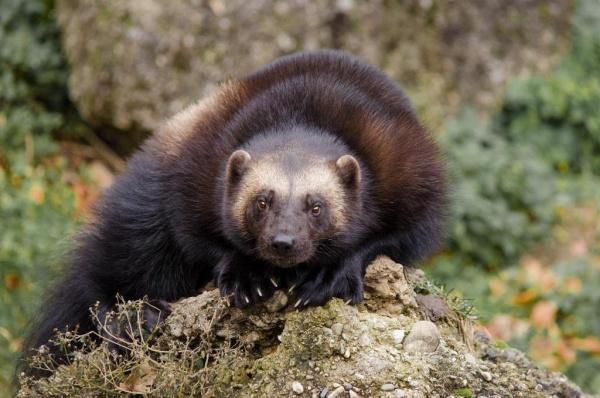 الدب الظربان من اشهر حيوانات امريكا