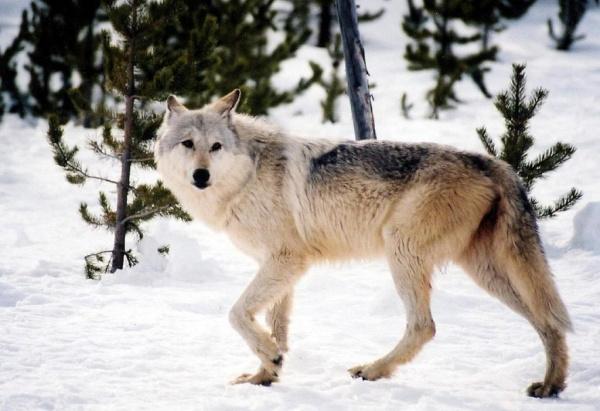 الذئب الرمادي من اشهر حيوانات امريكا