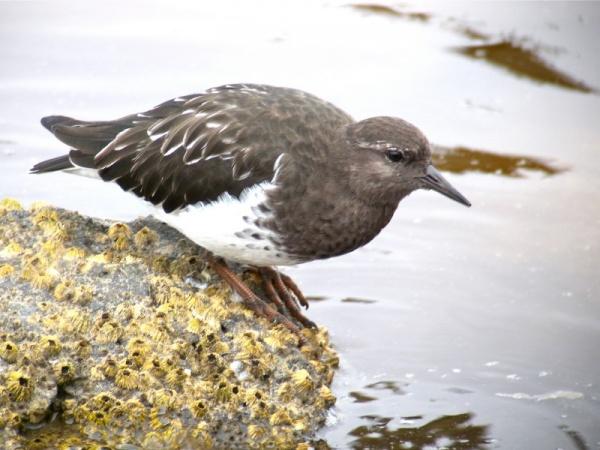 من اجمل الطيور المائية في العالم طيور قنبرة الماء