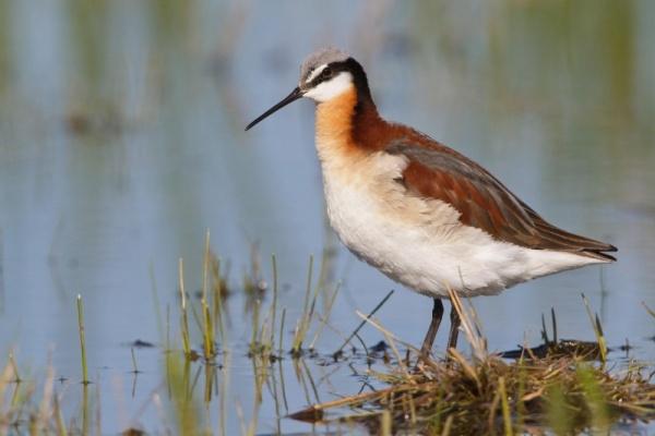 من اجمل الطيور المائية في العالم طيور الفلروب