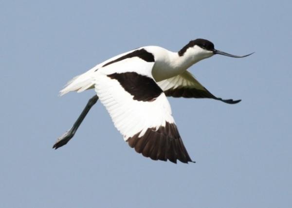 من اجمل الطيور المائية في العالم الطائر النكات