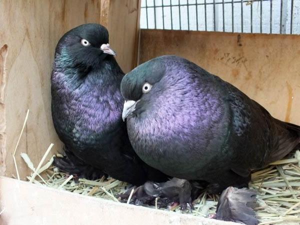 معلومات عن طيور الحمام
