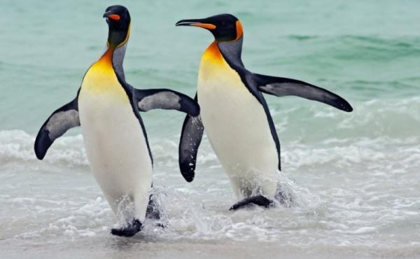 صورة لطيور البطريق ! King-penguin-facts_543_5_1525992094