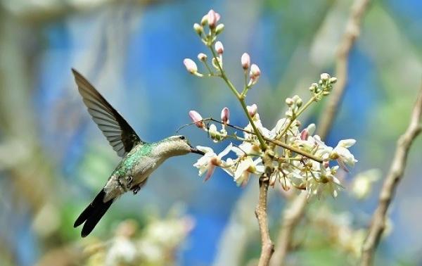 بالصور الطائر الطنان هو أصغر طيور العالم