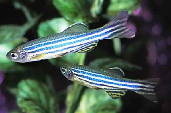 أفضل أسماك المياه العذبة ليربيها المبتدئين