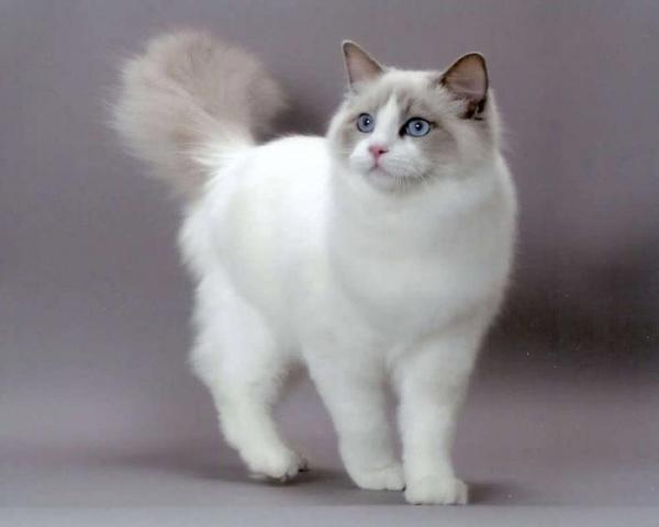 12 من سلالات القطط الأكثر شعبية بالصور نورليك
